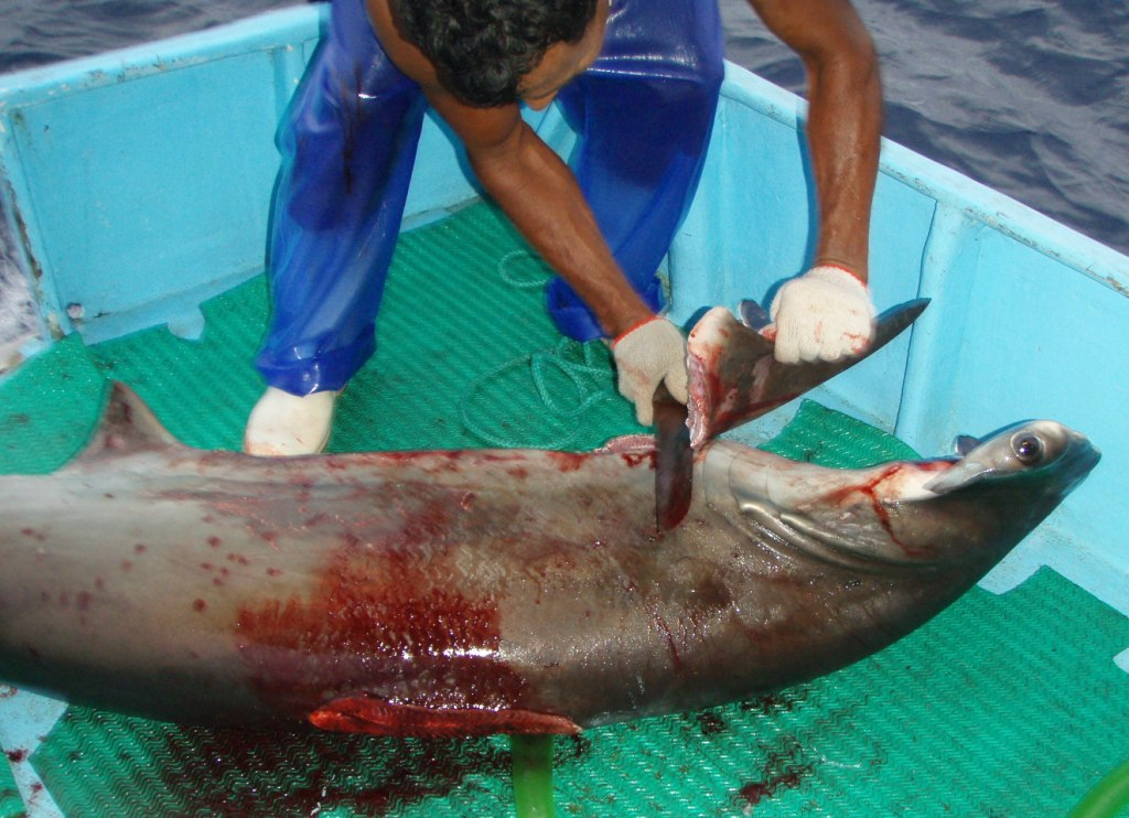 shark finning Information about shark finning and why it is banned in some countries.