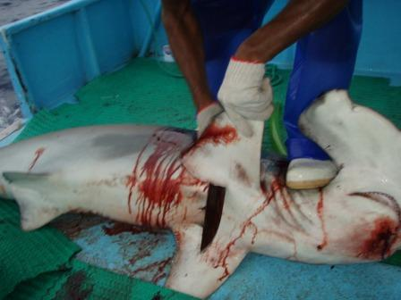 Costa Rican Shark Finning Campaign Wins Gothenburg Prize ...