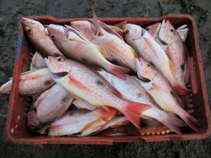 Spotted rose snapper are fished with bottom longline on the Nicoya Peninsula, Costa Rica